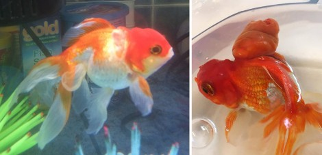 """A combination of handout pictures released by Highcroft Veterinary Group on May 31, 2016 show Nemo the goldfish (R) before surgery to remove a large tumour from its back at a veterinary hospital in Bristol, western England, on May 13, 2016 and after the operation (L). A couple from a small town north of London made a 200-mile round trip to take their pet goldfish Nemo to a specialist vets for surgery to remove a tumour. The operation lasted 45 minutes, during which he was asleep and out of the water so that the tumor could be removed. Nemo recovered quickly from the procedure and was swimming normally once returned to the water. / AFP PHOTO / HIGHCROFT VETERINARY GROUP / HIGHCROFT VETERINARY GROUP / RESTRICTED TO EDITORIAL USE - MANDATORY CREDIT """" AFP PHOTO / HIGHCROFT VETERINARY GROUP """" - NO MARKETING NO ADVERTISING CAMPAIGNS - DISTRIBUTED AS A SERVICE TO CLIENTS"""