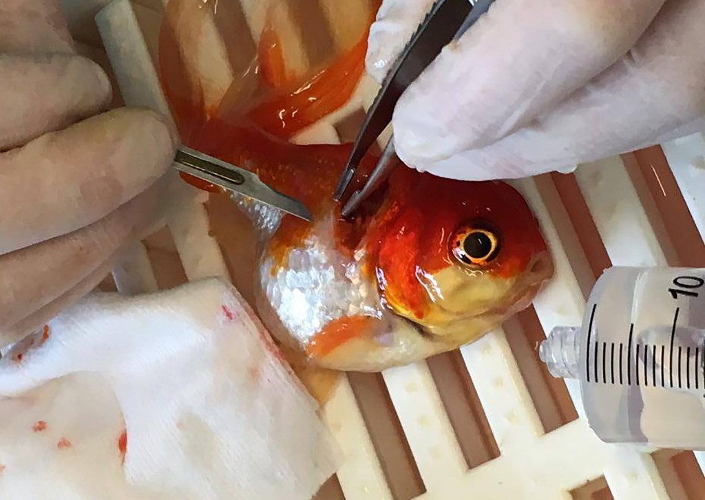 """A handout picture released by Highcroft Veterinary Group on May 31, 2016 shows Nemo the goldfish during the surgery to remove a large tumour from its back at a veterinary hospital in Bristol, western England, on May 13, 2016. A couple from a small town north of London made a 200-mile round trip to take their pet goldfish Nemo to a specialist vets for surgery to remove a tumour. The operation lasted 45 minutes, during which he was asleep and out of the water so that the tumor could be removed. Nemo recovered quickly from the procedure and was swimming normally once returned to the water. / AFP PHOTO / HIGHCROFT VETERINARY GROUP / HIGHCROFT VETERINARY GROUP / RESTRICTED TO EDITORIAL USE - MANDATORY CREDIT """" AFP PHOTO / HIGHCROFT VETERINARY GROUP """" - NO MARKETING NO ADVERTISING CAMPAIGNS - DISTRIBUTED AS A SERVICE TO CLIENTS"""